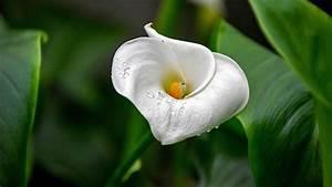 Calla Gelbe Blätter : calla pflege tipps f r die zimmerpflanze ~ A.2002-acura-tl-radio.info Haus und Dekorationen