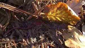 Vers De Terre Acheter : comment trouver des vers de terre lombric m me en hiver youtube ~ Nature-et-papiers.com Idées de Décoration