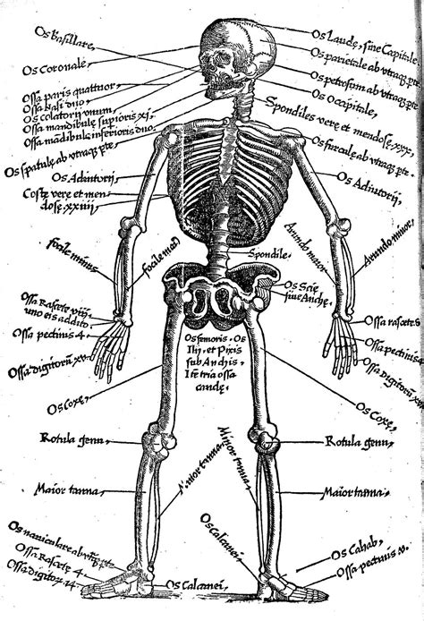 skeleton  latin key  names  bones wellcome