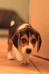 Beagle Puppy Names Dogs
