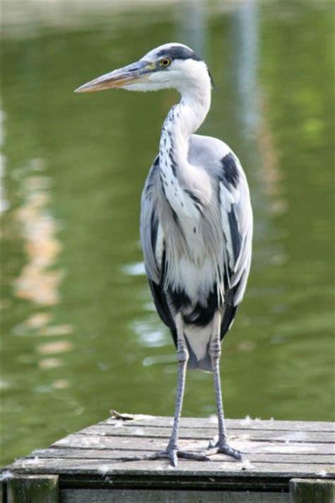 le bureau heron parc photo de hé cendré au parc de bercy à ash heron