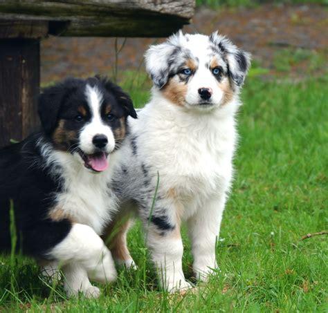 Hunde  Rassehunde  Australian Shepherd Tieranzeigen Seite 2