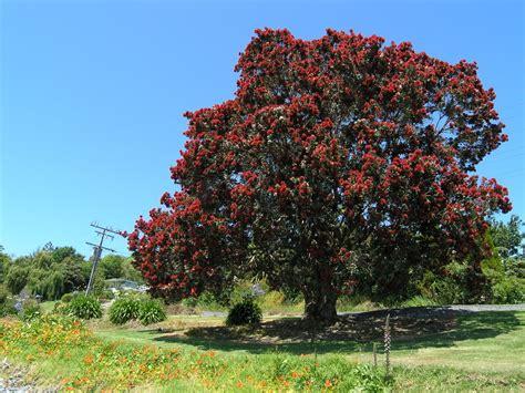 metrosideros excelsa pohutukawa nz christmas tree leafland