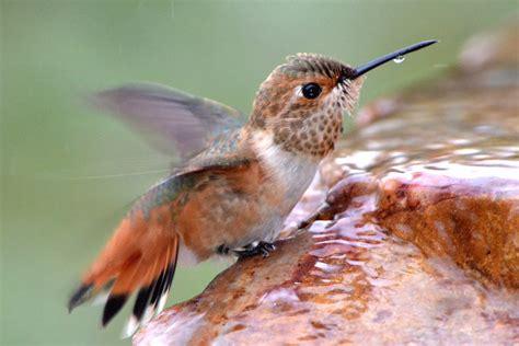 hummingbird water attract hummingbirds with water