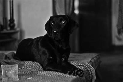 Labrador Retriever Dog Animals Desktop Wallpapers Backgrounds