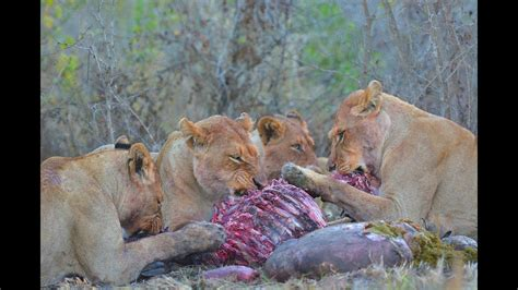 African Wildlife HD Part 2 Kruger Park South Africa