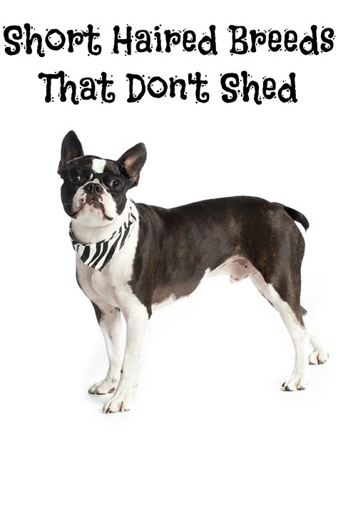 Big Dogs That Dont Shed Badly by Haired Breeds That Don T Shed Dogvills