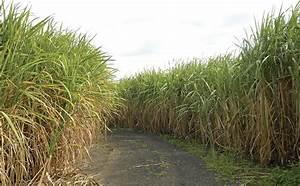 Brazil Gives Gm Sugarcane A Go