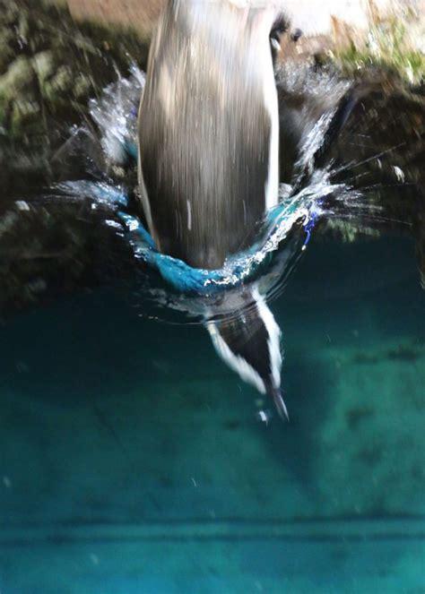 penguins  fly underwater  england aquarium