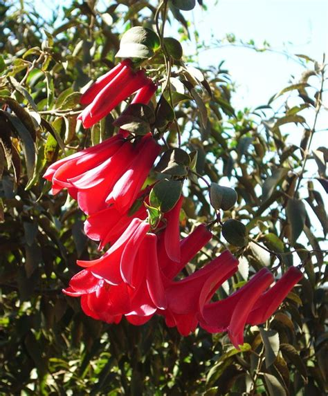17 best about copihue chilean national flower on