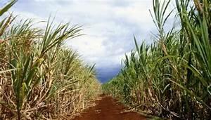 Fun Facts On Sugar Cane