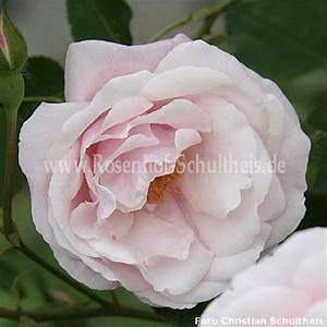 Rosen Düngen Im Frühjahr : ayrshire splendens rosen online kaufen im rosenhof schultheis rosen online kaufen im ~ Orissabook.com Haus und Dekorationen