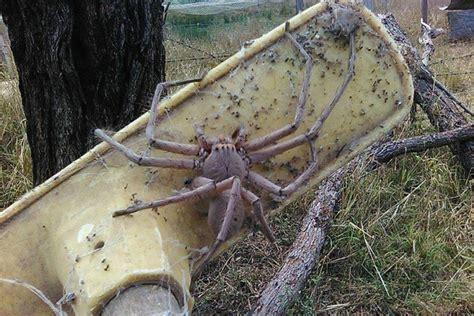 Giant huntsman spider on end of broom - ABC News ...