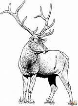 Elk Coloring Deer Printable Gorgeous Drawing Animals Clipart Mountain Rocky Para Ciervo Animal Moose Drawings Woodland Colorear Dibujo Hirsch Ausmalbild sketch template