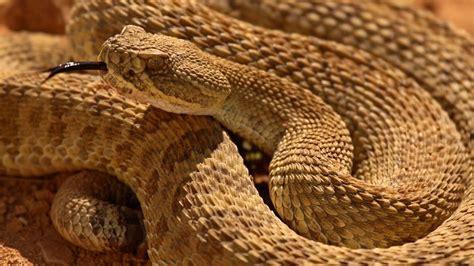 Types of venomous snakes found in Texas   cbs19.tv