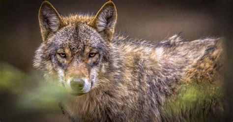 belgische wolf eet kangoeroe op buitenland telegraafnl