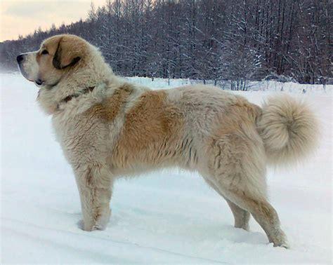 Pyrenean Mastiff All Big Dog Breeds
