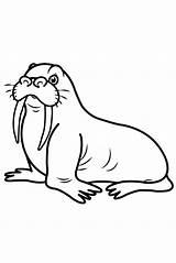 Walrus Coloring Drawing Draw Step Printable Animal Children Arctic Drawings Youtu Sea sketch template