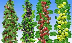 Wann Himbeeren Pflanzen : 4 pflanzen s ulenbeeren groupon ~ Lizthompson.info Haus und Dekorationen