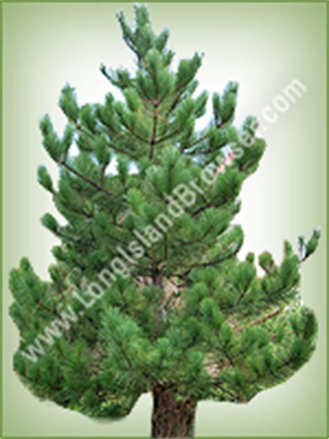 what type of christmas tree lasts the longest island tree types varieties cedars cypresses firs pines spruces
