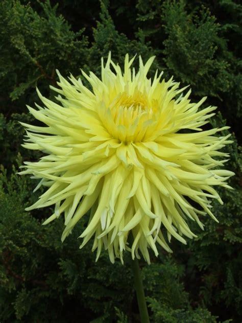 WINDHAVEN HIGHLIGHT | Dāliju gumi | Kaktusa dālijas ...