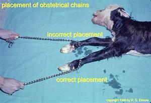 Bovine Obstetrics Images