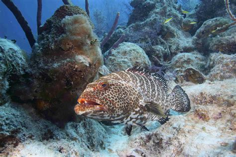 grouper tiger reef marine famous prowls biologists adventure coral keel tropical under