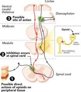 Mu Opioid Receptor Mechanism