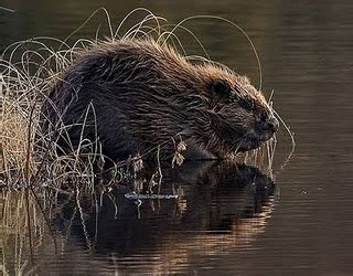 funny beaver pictures gallery  news icon