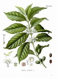 Kaffee Als Dünger : unterschied zwischen der kaffeesorte arabica und robusta schwarzundheiss ~ Yasmunasinghe.com Haus und Dekorationen