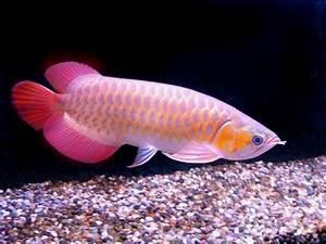 Nature Lover: Arowana Fish