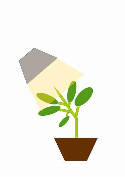 Plant Clipart Wilted Experiment Planting Phototropism Dead