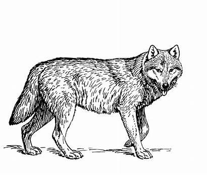 Wolf Clipart Illustration