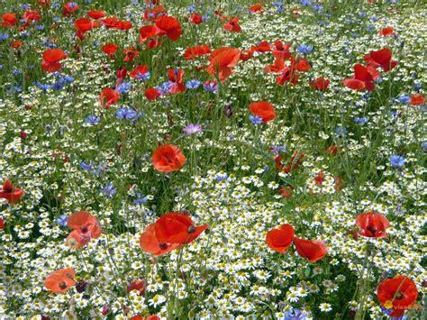 Résultat d'images pour fleurs des champs