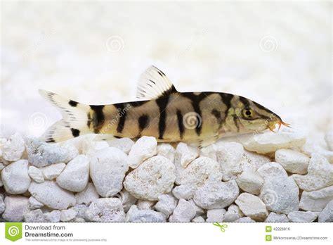 poisson chat d aquarium loche d almora de loche de yo yo ou loche pakistanaise almorhae de botia de poisson chat photo