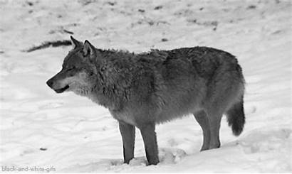 Wolf Wild Animals Giphy Russia Gifs Eurasian