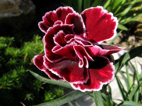 wild carnations dianthus caryophyllus auntie dogmas