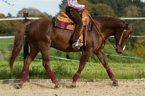 horses horse muscular quarter muscle hypp disorders equine athletic feeding pssm periodic hyperkalemic paralysis trotting disease conditions