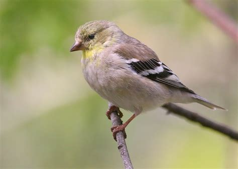 gallery for gt american goldfinch male winter