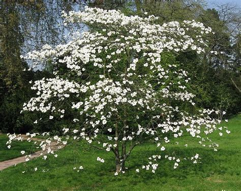 when to plant a dogwood tree instructions for planting dogwood trees infobarrel