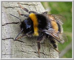 Bumblebees vs. Honeybees: Whats the difference? | Apiaries ...