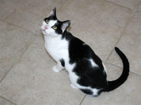 bicolor cat breed selector
