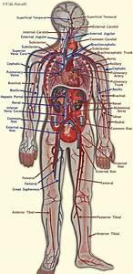 Major Blood Vessels In The Heart