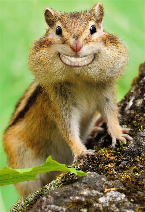 grinning chipmunk funny congratulations card greeting