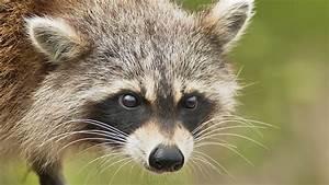 Hero Woman Strangles Rabid Raccoon with Her Bare Hands