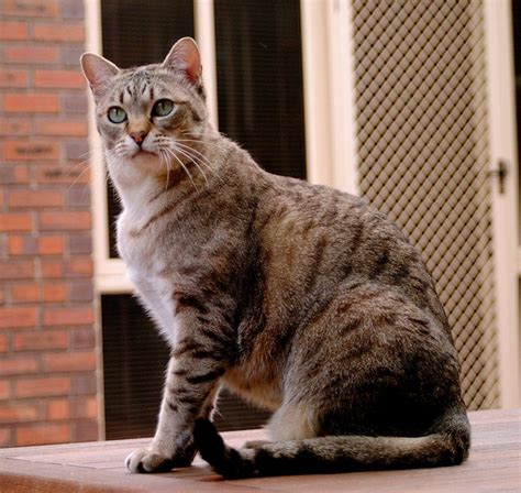 cat breeders cat breeds alphabetical order history and characteristics