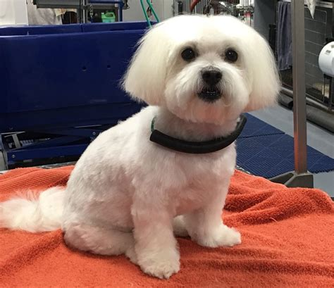 maltese wags  riches dog grooming