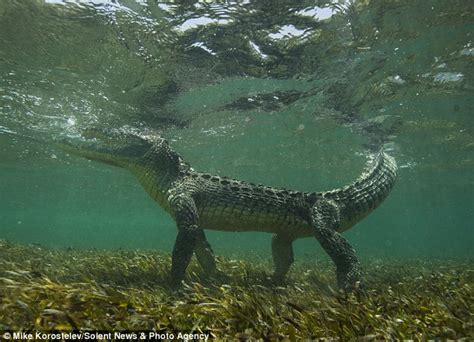 jaw dropping snaps deadly  foot crocodile  face