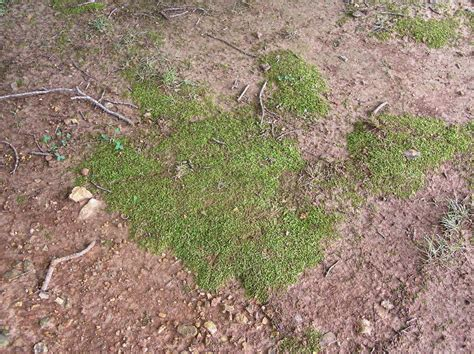 growing moss lawn seven ideas for managing mosses in lawn areas what grows there hugh conlon