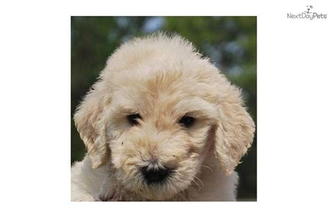 dogs that dont shed labradoodle top 10 non shedding dogs breeds picture